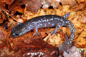 blue spotted salamander on leaf