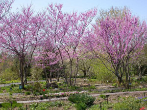 redbud trees in bloom