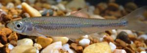 silver shiner fish
