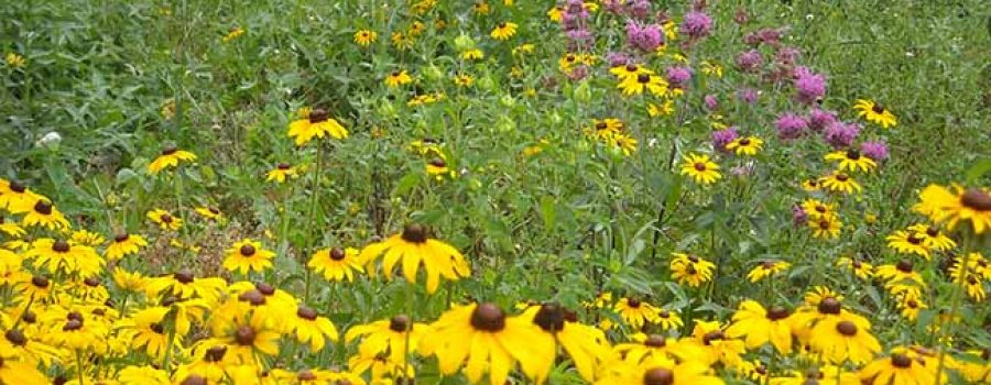 native wildflower garden