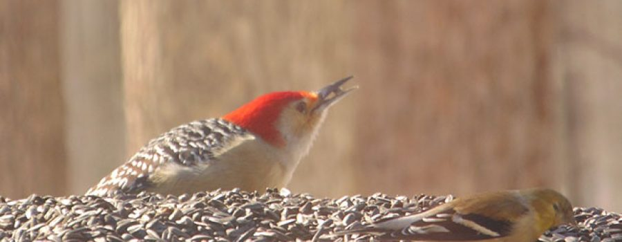 picture of Red-Bellied Woodpecker on a birdfeeder with a Goldfinch