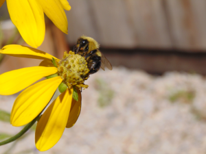 Lg Carpenter Bee