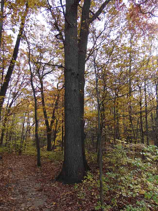 Millstream Trail large red oak