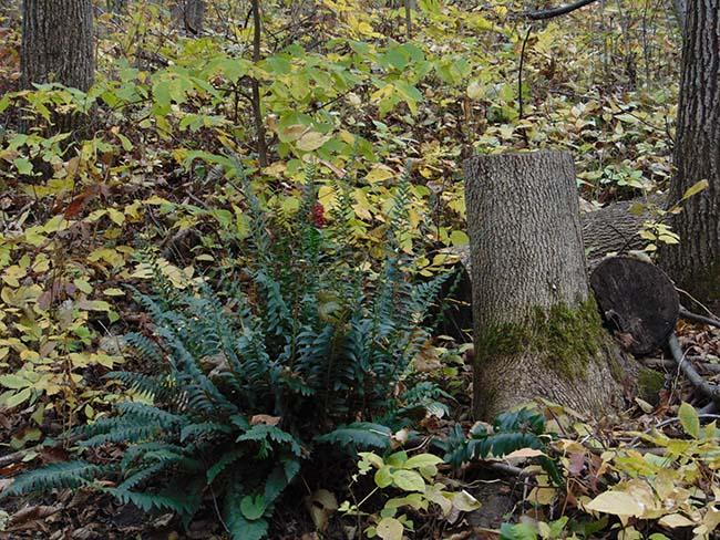 Pondview Trail fern