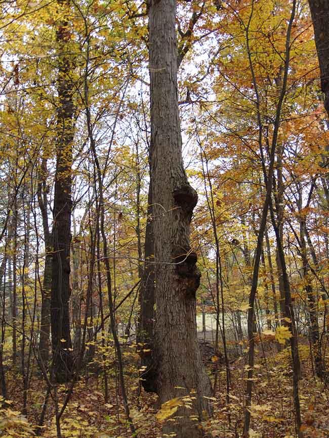 Westwood Trail white oak