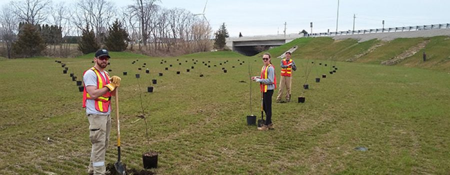 tree planting along the 401