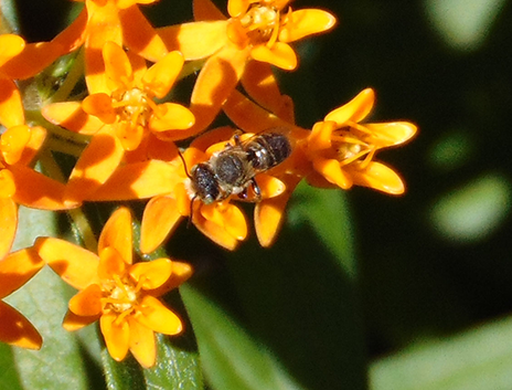 Anthophora digger bee